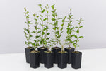 "Ligustrum Undulatum ""Box-leaved Privet"" dense evergreen shrub plants with dense glossy green crinkled leaves"