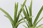 Liriope Muscari Pink Pearl is a new tough, compact and variegated liriope