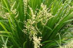 Lomandra hystrix - short yellowy green flower spikes with fluffy heads in spring.