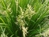 Lomandra confertifolia 'Little Cricket'