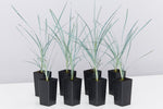 Lomandra Blue Edge, native grass with powerful powder blue, upright foliage
