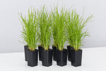 Lomandra Confertifolia Little Con has fresh green narrow leaves that is virtually indestructible
