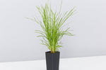 This is the perfect grass for pots because it stays relatively small and brightens the dullest of patios and pool-sides.