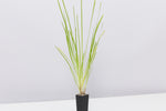 Lomandra longifolia Dalliance