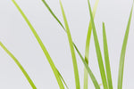Lomandra Hystrix buy in bulk packs and save