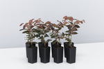 Loropetalum China Pink great when planted in mass /burgundy foliage plant