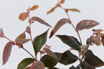 "Loropetalum chinense ""China Pink"" 