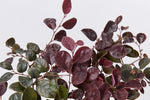 Deep purple foliage and violet undersides of the Loropetalum chinese Purple Pixie 'PEACK' groundcover  plants