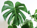 Monstera deliciosa Tauerii