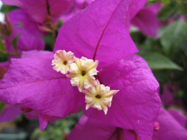 Bougainvillea Magnifica Trailii | Hardy Colorful Flowering Plant