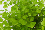 Maidenhair Fern 85mm