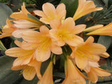 Clivia- Tropical Plants in a Box