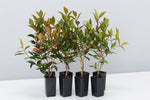 Metrosideros Fiji Fire™ tall hedging screening plant mass planting hardy plant online free shipping