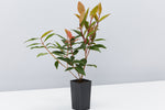 Metrosideros Fiji Fire™ shiny green leaves with red foliage