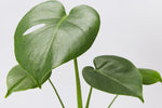 Monstera with pot option