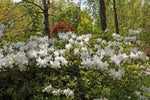 Azalea indica 'Mrs Kint White' | Plants in a Box | Free Shipping Australia