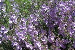 Note: Native Mint flowers from Prostanthera sieberi