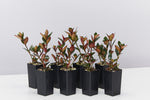 Nematanthus fortaleza trailing plants with waxy green leaves, new growth appearing red