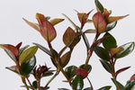 New growth of the Nematanthus fortaleza plant, green with red undersides
