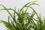 Foliage of the Nephrolepis cordifolia Duffii fern - small round leaves