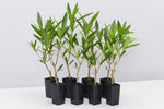 Nerium oleander Double Pink bushy shrub plants with dark narrow leaves