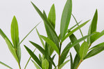 Narrow dark green leaves of the Nerium oleander Double Pink