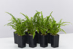 Nephrolepis Duffii fern houseplants with small rounded leaves evenly spaced along arcing fronds