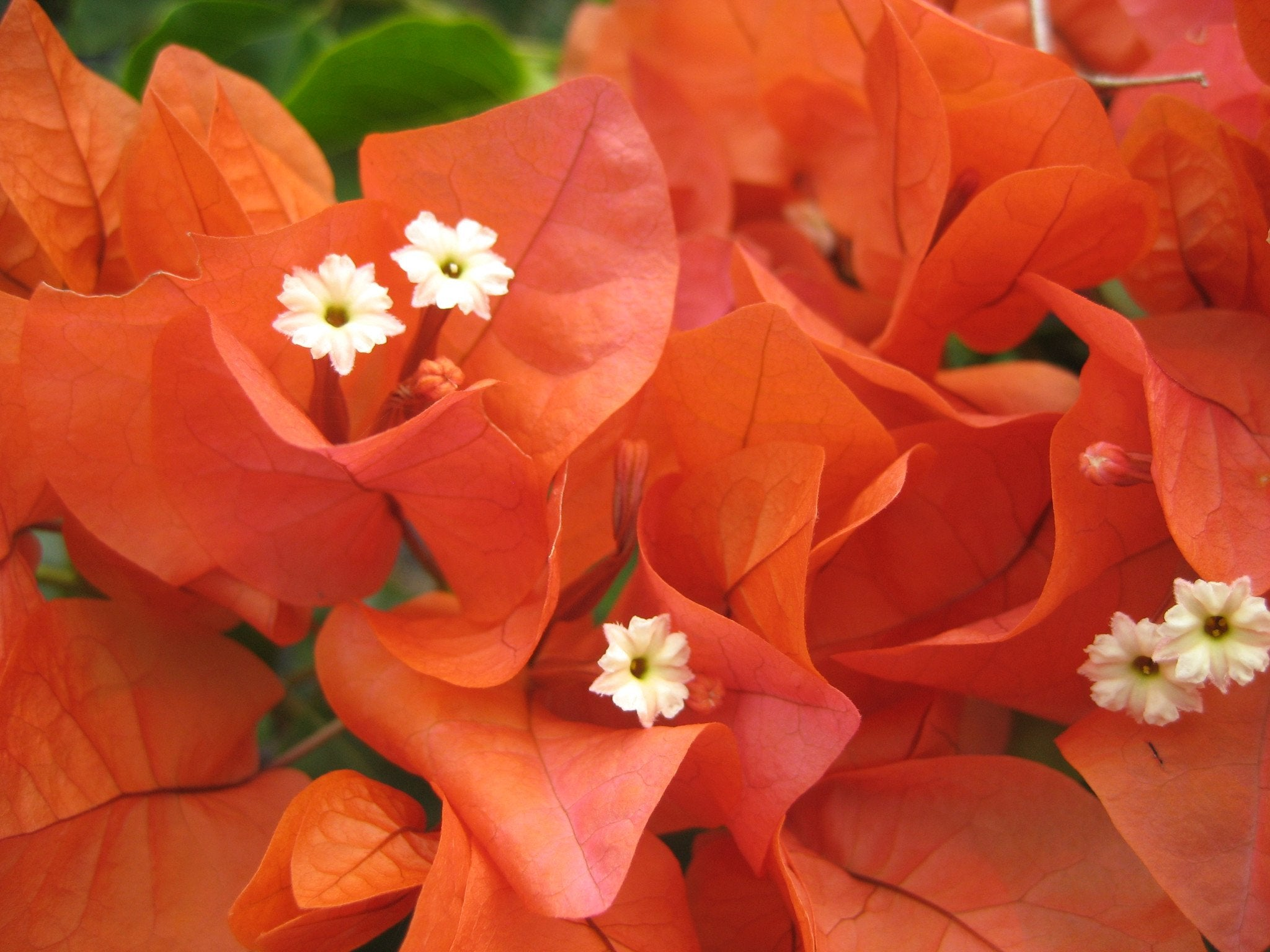 Bougainvillea Orange Glory