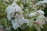 Spiraea cv. Pink Ice | Plants in a Box | Free Shipping | Rambling shrub