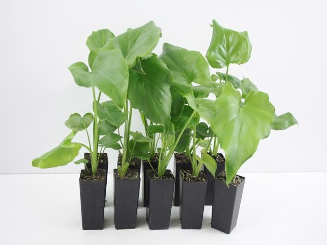 Philodendron Selloum Roystonii | Plants in a Box | Free Shipping Australia | Buy Plants Online