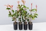 Red Fence™ Photinia x fraseri 'CP01' Pbr | new red leaves and dark green crinkled leaves