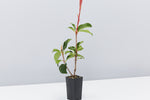Red Fence™ Photinia x fraseri 'CP01' Pbr | green leaves with red new growth