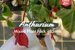 Anthurium Mixed Pack 85mm