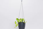 Note: Golden pothos in grey pot