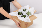 Woman holding a box of 4 gift wrapped succulents getting ready for delivery