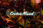 Croton Mixed