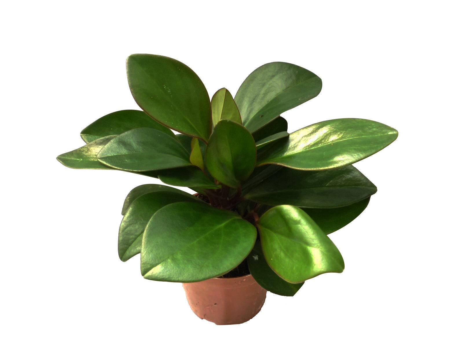Peperomia scandens | Buy Plants Online | Free Shipping Australia