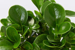 Foliage of the Peperomia Obtusifolia Jade plants with rounded shiny green leaves