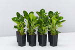 Peperomia lime has round-shaped, thick glossy lime green leaves. 8 plants standing together