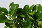 Close up of Peperomia obtusifolia 'lime' leaves. They are green and rounded | Plants in a Box