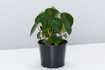 Peperomia polybotrya | glossy green raindrop shaped leaves