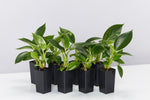 8 x Philodendron Birkin plants with dark green glossy leaves with pinstripe white lines pictured against a white background