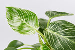 Philodendron Birkin large dark green leaves with white stripes in a net vein pattern