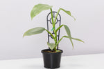 Philodendron hastatum Silver Sword with pot option