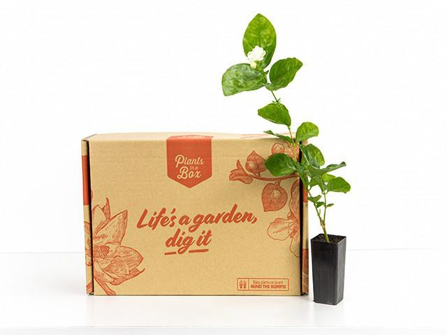 Jasminum Grand duke of Tuscany | Plants in a Box | Buy plants online