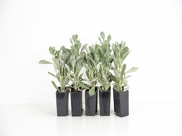 Kalanchoe pumila 'Quicksilver' | Plants in a Box | Buy Plants Online | Free Shipping Australia