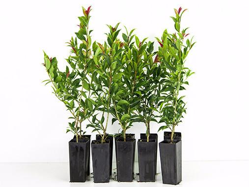 Syzygium Winter Lights | red new growth