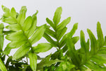 Polypodium Whitley Giant's fronds. A detailed up close images of the dark green leaves