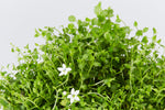 Pratia Pedunculata | Trailing Pratia | groundcover with tiny white flowers
