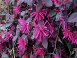 Buy Plants Online Loropetalum Bobz Red Dwarf